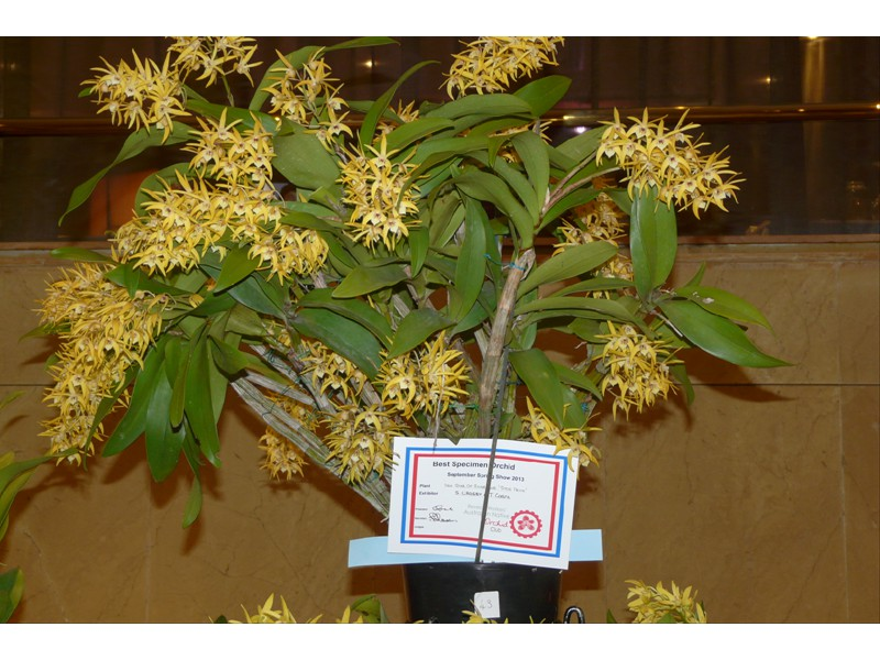 Den. Star of Riverdene 'Syd`s Pride'