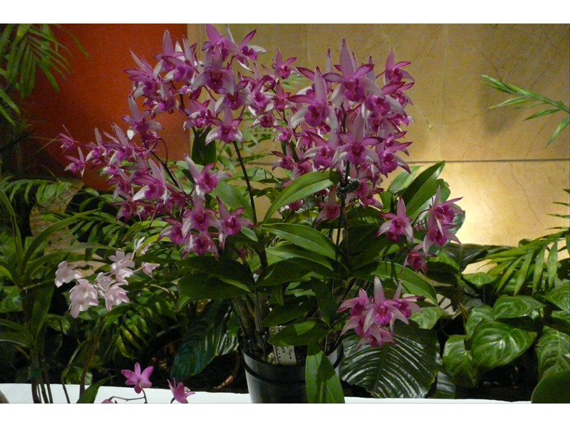 Den. Star of Riverdene 'Syd's Pride'