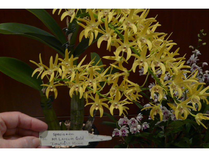 Den. speciosum 'Mt. Larcom Gold' x 'Daylight Moon'