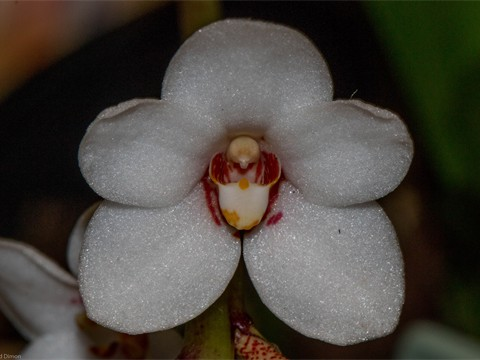 Sarcochilus hartmanii 'Snowbert' (Champion Species)