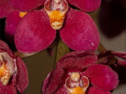 Sarcochilus Magic 'Flame' HCC